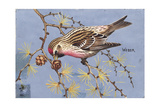 Stamp Art - Common Redpoll Giclee Print by Walter Weber