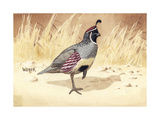 Stamp Art - Gambels Quail Giclee Print by Walter Weber