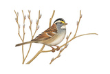 Stamp Art - White Throated Sparrow Giclee Print by Walter Weber
