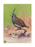 Stamp Art - Mountain Quail Giclee Print by Walter Weber