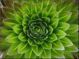 A Giant Lobelia Plant Mounted Photo by George F. Mobley