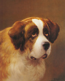 A Head of a Saint Bernard Giclee Print by P Magee