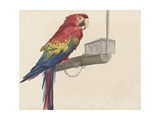 Parrot, by Louis Charles Bombled, C. 1872-1927 Giclee Print by Louis Charles Bombled