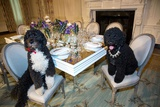 Obama Family Pets Bo (Left) and Sunny Sit at a Table in the State Dining Room Photo