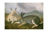 Arctic Hare, 1841 Giclee Print by John James Audubon