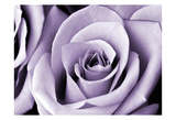 Lavender Rose Posters