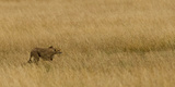Cheetah (Acinonyx Jubatus) Stalking Prey, Maasai Mara National Reserve, Kenya Photographic Print by  Panoramic Images