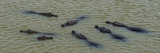 Elevated View of Yacare Caimans (Caiman Yacare) in a River Photographic Print by  Panoramic Images