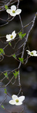 Close-Up of Dogwood Flowers, Yosemite National Park, California, USA Photographic Print by  Panoramic Images