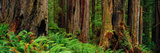 Trees and Plants in a Forest, Prairie Creek Redwoods State Park, California, USA Photographic Print by  Panoramic Images