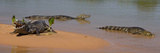 Close-Up of Three Yacare Caiman (Caiman Yacare) in a River Fotografisk tryk af Panoramic Images
