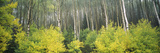 Aspen Trees in a Forest, Utah, USA Photographic Print by  Panoramic Images