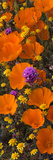 Close-Up of California Poppy (Eschsholtzia Californica) Goldfields (Lasthenia Californica) Photographic Print by  Panoramic Images