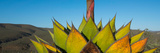 Close-Up of Agave Plant, Baja California, Mexico Photographic Print by  Panoramic Images