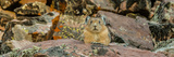 Close-Up of Pika (Ochotona Princeps) on Rock, Bridger-Teton National Forest, Wyoming Range Photographic Print by  Panoramic Images