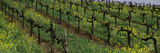 Mustard and Vine Crop in the Vineyard, Napa County, California, USA Photographic Print by  Panoramic Images