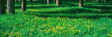 Dandelions and Cottonwood Flowers in a Forest, Wilson, Teton County, Wyoming, USA Photographic Print by  Panoramic Images