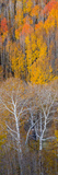 Aspen Trees in a Forest, Boulder Mountain, Grand Staircase-Escalante National Monument, Utah, USA Photographic Print by  Panoramic Images