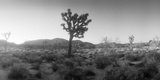 Joshua Trees in a Desert at Sunrise, Joshua Tree National Park, San Bernardino County Photographic Print by  Panoramic Images