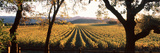 Vines in a Vineyard, Far Niente Winery, Napa Valley, California, USA Photographic Print by  Panoramic Images