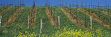 Mustard and Vine Crop in the Vineyard, Napa Valley, Napa County, California, USA Photographic Print by  Panoramic Images