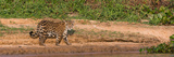 Jaguar (Panthera Onca) Walking in a Forest at Riverside, Cuiaba River Photographic Print by  Panoramic Images