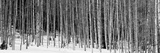 Aspen Trees in a Forest, Chama, New Mexico, USA Photographic Print by  Panoramic Images