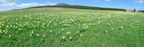 Daffodil Flowers in a Field, Les Estables, Mont Mezenc, Ardeche, Rhone-Alpes Photographic Print by  Panoramic Images