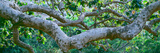 Panoramic Images - Detail of Sycamore Tree in a Forest, Point Mugu State Park, California, USA Fotografická reprodukce