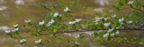 Close-Up of Dogwood Flowers, Merced River, Yosemite National Park, California, USA Photographic Print by  Panoramic Images