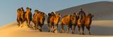 Camel Caravan in a Desert, Gobi Desert, Independent Mongolia Fotografisk tryk af Panoramic Images