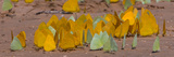 Close-Up of Butterflies at Riverbank, Cuiaba River, Pantanal Wetlands, Brazil Photographic Print by  Panoramic Images