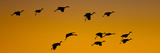 Silhouette of Sandhill Cranes (Grus Canadensis) Flying in the Sky at Sunrise Photographic Print by  Panoramic Images