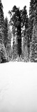 General Sherman Trees in a Snow Covered Landscape, Sequoia National Park, California, USA Photographic Print by  Panoramic Images