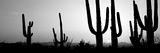 Silhouette of Saguaro Cacti (Carnegiea Gigantea) on a Landscape, Saguaro National Park, Tucson Photographic Print by  Panoramic Images