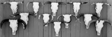 Cow Skulls Hanging on Planks, Taos, New Mexico, USA Photographic Print by  Panoramic Images