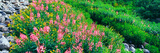 Elevated View of Fireweed (Chamerion Angustifolium) Flowers, Garnet Canyon Photographic Print by  Panoramic Images