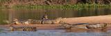 Yacare Caimans (Caiman Yacare) in a River, Pantanal Matogrossense National Park Reprodukcja zdjęcia autor Panoramic Images