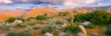 Yucca (Spanish Bayonet) Plants Blooming in a Desert, Culp Valley Primitive Campground Photographic Print by  Panoramic Images