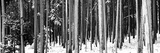 Lodgepole Pines and Snow Grand Teton National Park Wy Photographic Print by  Panoramic Images