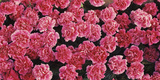 Pink Carnations Flowers in Bloom Photographic Print by  Panoramic Images