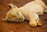 Baby Lion at Kruger National Park, Johannesburg, South Africa, Africa Photographic Print by Laura Grier