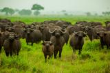 Water Buffalo Standoff on Safari, Mizumi Safari Park, Tanzania, East Africa, Africa Photographic Print by Laura Grier