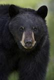 Black Bear (Ursus Americanus), Yellowstone National Park, Wyoming Photographic Print by James Hager