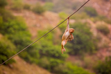 Wild Monkey Hanging Out, Jaipur, Rajasthan, India, Asia Photographic Print by Laura Grier