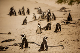 Cape African Penguins, Boulders Beach, Cape Town, South Africa, Africa Photographic Print by Laura Grier