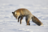 Cross Fox, Red Fox (Vulpes Vulpes) (Vulpes Fulva) Pouncing on Prey in the Snow Photographic Print by James Hager
