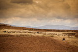 Farmer and Her Sheep, Sacred Valley, Cusco, Peru, South America Photographic Print by Laura Grier