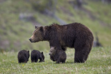 Grizzly Bear (Ursus Arctos Horribilis) Sow and Three Cubs of the Year, Yellowstone National Park Photographic Print by James Hager
