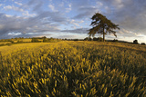 Wheat Field and Pine Tree at Sunset, Near Chipping Campden, Cotswolds, Gloucestershire, England Photographic Print by Stuart Black